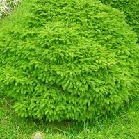 Barrväxter - för en städsegrön trädgård