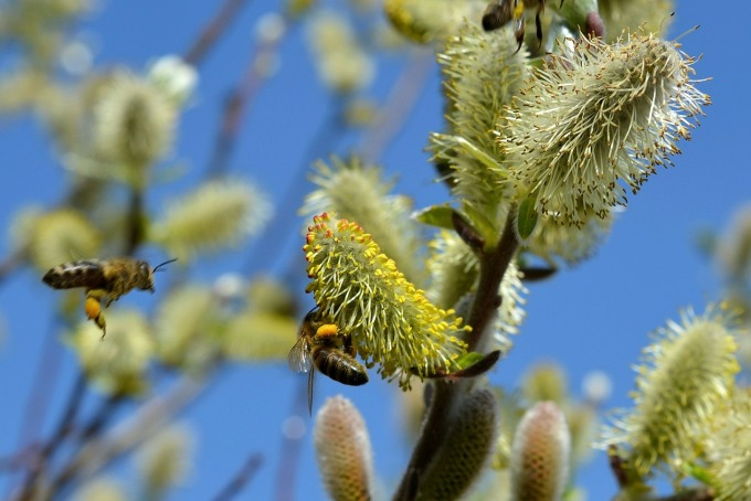 Bee and willow. Photo: condesign @Pixabay