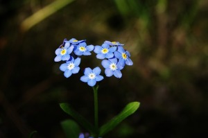 Forget-me-not | My Green Nook