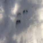 Tracks of a Roe Deer, walking mindful - My Green Nook