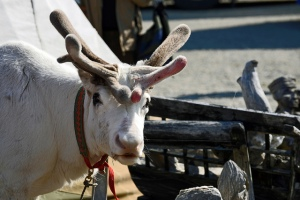 Reindeer. Indigenous culture | My Green Nook