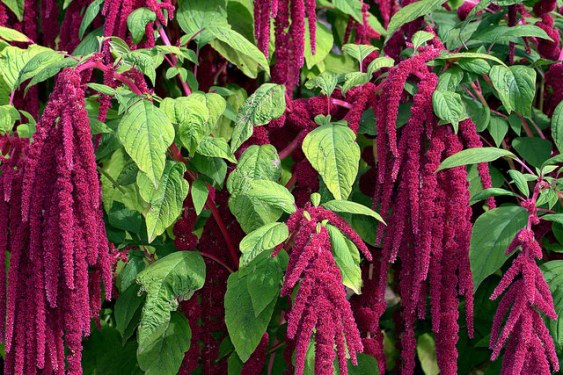 Amaranthus caudatus. Letter A Blogging From A to Z April (2015) Challenge | My Green Nook