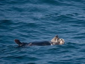 Sea Otter. Plastic Pollution | My Green Nook