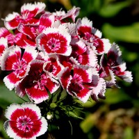 D as in Dianthus