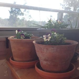 Pansies. Hope | My Green Nook