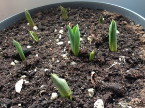 Spring is coming. Tulipa murillo-mix|My Green Nook