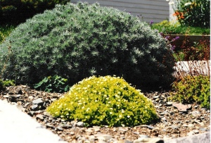 Gravel Garden. N as in Nepeta. Blogging from A to Z April (2015) Challenge   My Green Nook