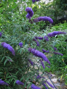 B as in Buddleja. Blogging from A to Z April (2015) Challenge | My Green Nook