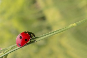 Ladybug. Wildlife garden. I as in Impatiens.  Blogging from A to Z April (2015) Challenge | My Green Nook