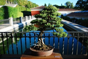 J as in Juniperus. Blogging from A to Z April (2015) Challenge | My Green Nook