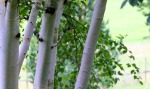 Himalayan birch stem/bark. M as in Matteuccia. Blogging from A to Z April (2015) Challenge   My Green Nook