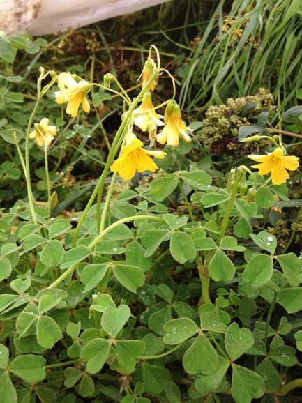 Oxalis tuberosa. O as in Oxalis. Blogging from A to Z April (2015) Challenge | My Green Nook