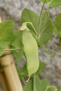 Pea Pod. Add Nitrogen to The Soil | My Green Nook