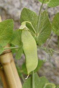Pea Pod. Add Nitrogen to The Soil | My Green Nook