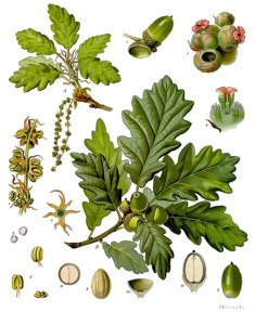 Quercus botanical illustration. Q as in Quercus. Blogging from A to Z April (2015) Challenge | My Green Nook