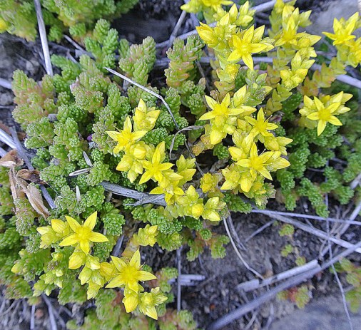 Sedum acre. S as in Sedum. Blogging from A to Z April (2015) Challenge | My Green Nook