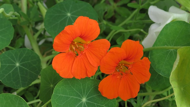 Tropaeolum majus. T as in Tropaeolum. Blogging from A to Z April (2015) Challenge | My Green Nook