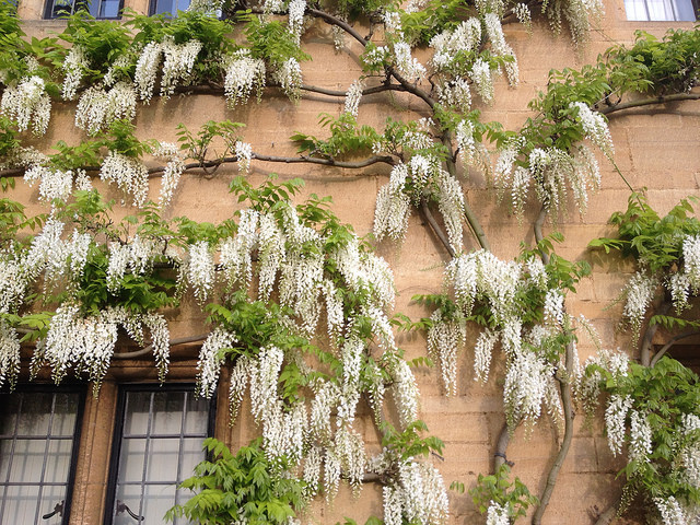 Wisteria sinensis 'Alba'. W as in Wisteria. Blogging from A to Z April (2015) Challenge | My Green Nook