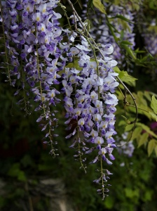 Wisteria sinensis blue flower. W as in Wisteria. Blogging from A to Z April (2015) Challenge | My Green Nook