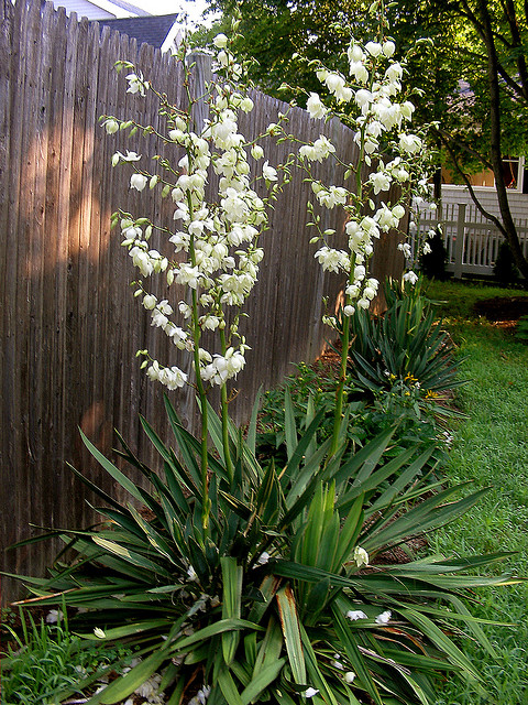 Yucca filamentosa - Adam´s needle. Y as in Yucca. Blogging from A to Z April (2015) Challenge | My Green Nook