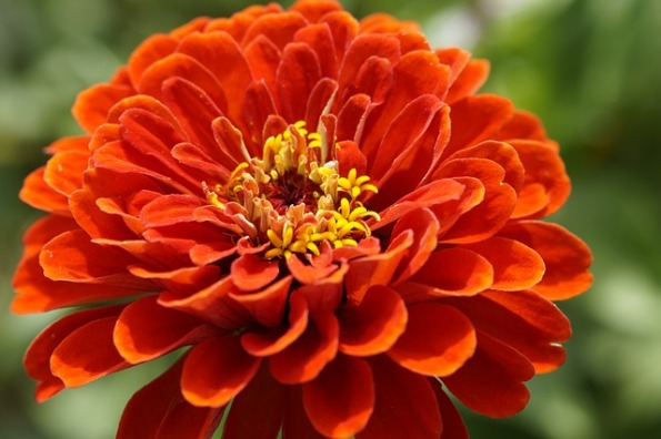 Zinnia flower. Z as in Zinnia. Blogging from A to Z April (2015) Challenge | My Green Nook